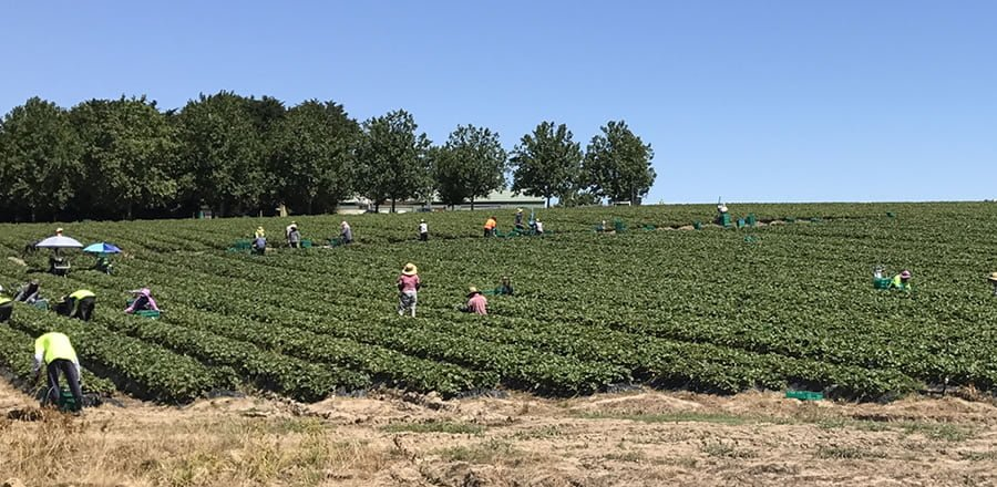 ASD Strawberries pickers
